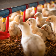 poultry feed and food safety