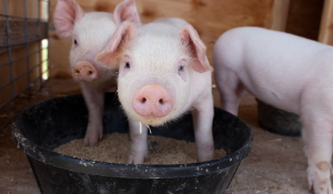 Dr. Montiel on Risk of African Swine Fever Virus Transmission via Feed