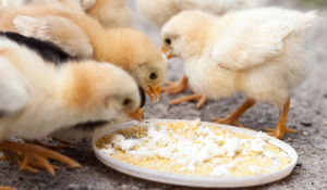Impact of Feed Pathogens on Gut Health