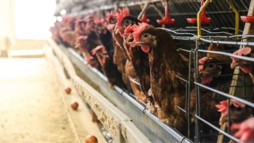 Layer Hens Are at Increased Risk of Feed Source Pathogens