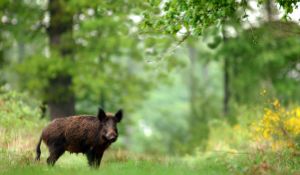 Risk and Mitigation of African Swine Fever in Feed