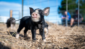 Feed Essential to Biosecurity Plans as ASF Is Confirmed in Germany